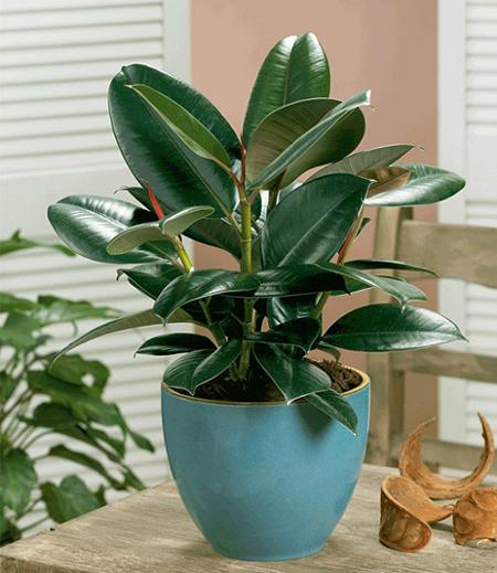 نگهداری از گل فیکوس الاستیکا,پرورش گل فیکوس الاستیکا