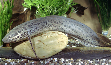 آشنایی با ماهی لانگ فیش, ماهی معمولی