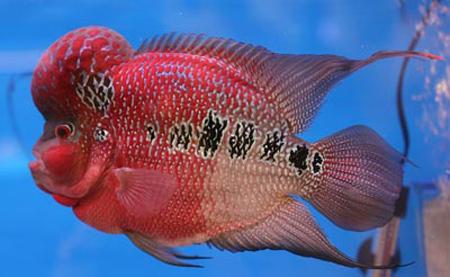 ماهی فلاور,نگهداری از ماهی فلاور