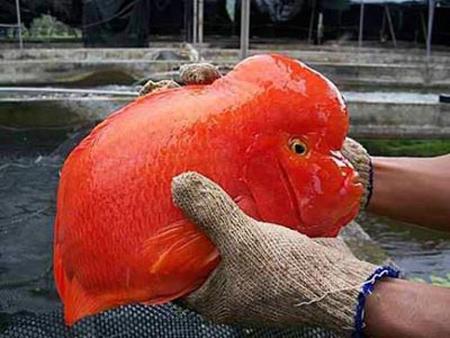 نگهداری ماهی فلاور در آکواریوم, مشخصات ماهی فلاور