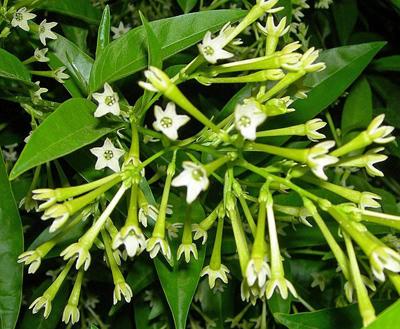 آشنایی با نگهداری و کاشت گل محبوبه شب