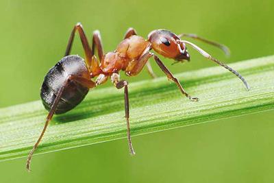 زندگی مورچه ها,دانستنی درباره مورچه ها