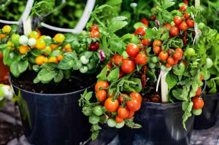 نحوه پرورش گوجه فرنگی در خانه