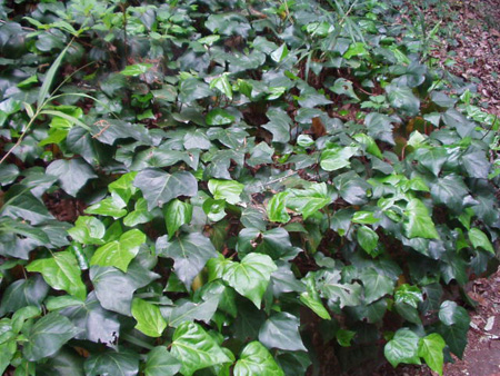 شناخت گیاهانی برای تصفیه هوا,کاشت گیاهانی برای تصفیه هوا