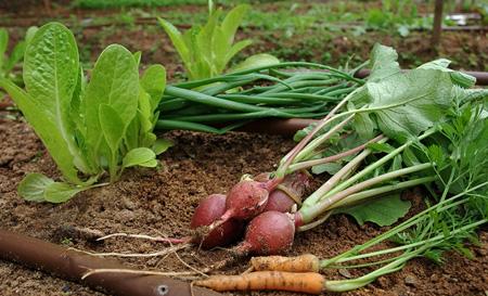 کاشت سبزیجات فصل سرد,نحوه کاشت سبزیجات فصل سرد