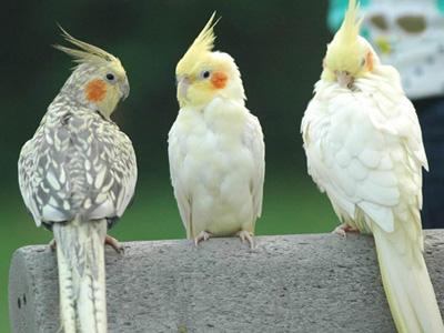 راهنمای انتخاب پرنده خانگی,نحوه انتخاب پرنده خانگی