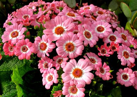 کاشت گل سینره,درباره گل سینرر
