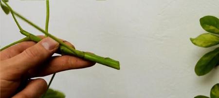 نحوه قلمه زدن,قلمه خشبی چیست,روش ریشه دارکردن قلمه