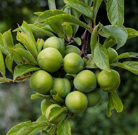 درخت گوجه سبز,آشنایی با شرایط نگهداری از درخت گوجه سبز