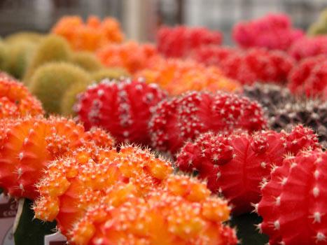 گلدهی کاکتوس ها, شکل گل دادن کاکتوس ها