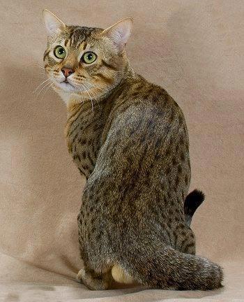 گربه, گربه نژاد مائو مصری,ظاهر گربه مائو مصری
