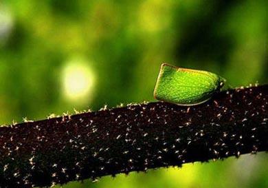حشرات شبیه گیاهان,آخوندک شبح,استتار حیوانات