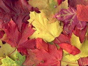 علت زرد شدن برگهای درختان ,علت قرمز شدن برگ درختان در پاییز,علت تغییر رنگ برگ ها در پاییز