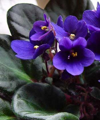 گلهای آپارتمانی,پرورش گلهای آپارتمانی,گیاهان زینتی