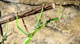 حشرات چسبناک, راز چسبندگی حشرات, علت چسبندگی برخی حشرات