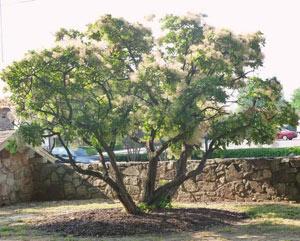 درخت پر,آشنایی با درخت پر ,شرایط نگهداری درخت پر