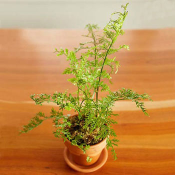 تراریوم,گلهای آپارتمانی,گیاهان مناسب برای تراریوم