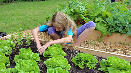 آموزش کاشت کاهو در خانه - عصر دانش