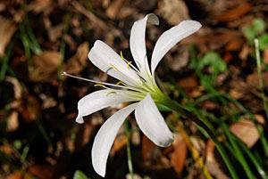 گل سوسن باران,پرورش گل سوسن باران,طریقه تکثیر گل سوسن باران