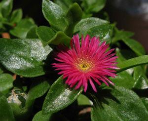 گل یخی,پرورش گل یخی,کاشت گل یخی