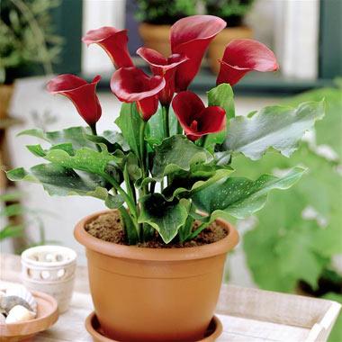 گل شیپوری,پرورش گل شیپوری,انواع گل شیپوری