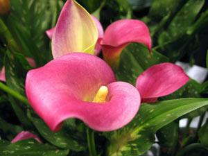 پرورش و نگهداری گل شیپوری - عصر دانش