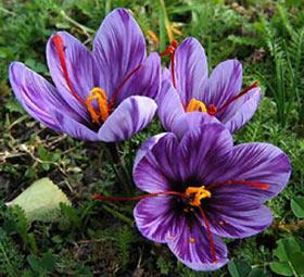 نحوه کاشت گیاه زعفران - عصر دانش