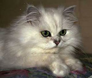 گربه,گربه چین چیلا,عکس های گربه چین چیلا