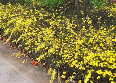 گل یاسمن زمستانی, گیاه یاسمن زمستانی, نحوه کاشت درختچه یاسمن زمستانی
