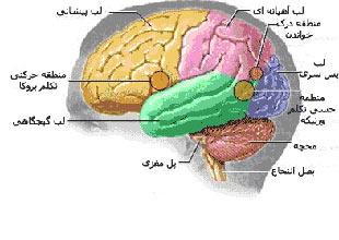 مغز,اجزای مغز انسان,دانستنیهای جالب درباره مغز انسان