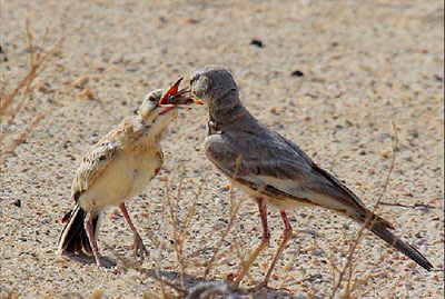 چکاوک هدهدی, پرنده شبانفریب, ویژگیهای پرنده شبانفریب