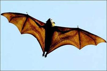 خفاش, هواپیما, خفاشها