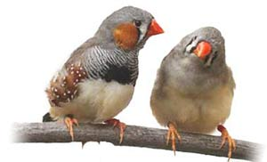 فنچ,پرنده فنچ,اصول نگهداري پرنده فنچ