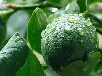 لیمو ترش, کاشت درخت لیمو ترش, نحوه کاشت و پرورش درخت لیمو ترش