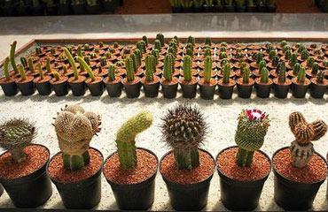 کاکتوس,گیاه کاکتوس,انواع گونه های کاکتوس
