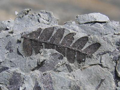 چگونگی تشکیل فسیل,سنگواره,انواع فسیل