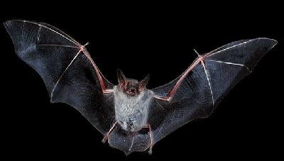 پرواز خفاش ها,خفاش,علت زندگی خفاش ها در غار