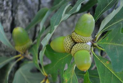 خواص بلوط,درخت بلوط,میوه درخت بلوط