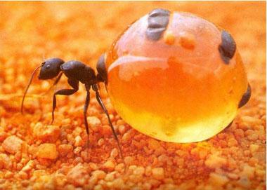 انواع مورچه,مورچۀ عسل,مورچه گلدان عسل