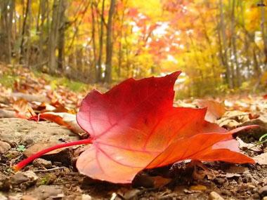 چرا برگ درختان به طور همزمان تغییر رنگ می دهند و می ریزند؟