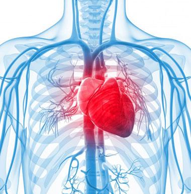 قلب, ساختار قلب, آناتومی قلب