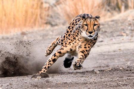 یوزپلنگ,سریعترین جانوران روی زمین, سریعترین موجود زنده جهان