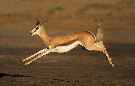 غزال جهنده,سریعترین جانوران روی زمین, سریعترین موجود زنده جهان