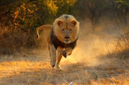 سریعترین جانوران روی زمین,شیر,سریعترین موجود زنده جهان