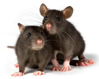 موشهای نر, موش های ماده, رفتار موشها در برابر ترس
