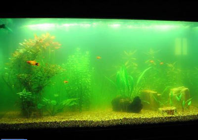 آکواریوم,علت كدر شدن آب آكواریوم,ماهیان آكواریومی