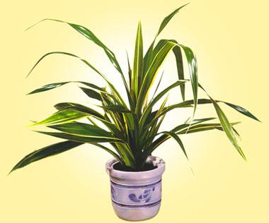 گیاه پاندانوس, شرایط نگهداری از گیاه پاندانوس, میزان آب مورد نیاز گیاه پاندانوس