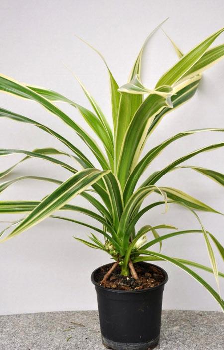 گیاه پاندانوس, میزان آب مورد نیاز گیاه پاندانوس,شرایط نگهداری از گیاه پاندانوس