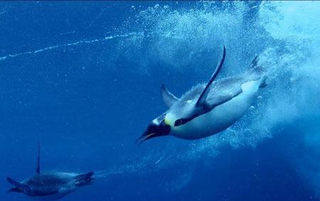 پنگوئن, ساختار بدن پنگوئن ها,شنا کردن پنگوئن