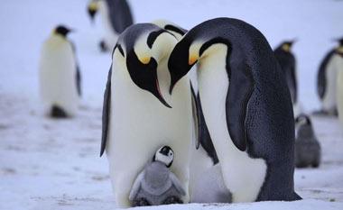 پنگوئن, ساختار بدن پنگوئن ها,عکس پنگوئن